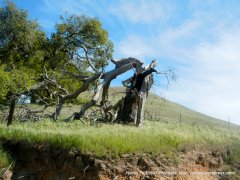 near dead stump