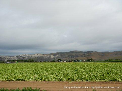 lettuce fields