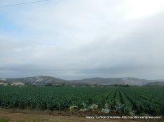 broccoli fields