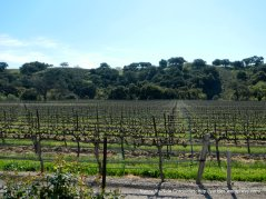 miles and miles of vineyards