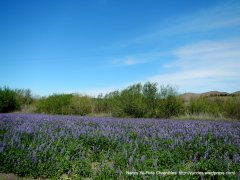 beautiful fileds of wild lupines