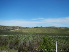 rows and rows of grapevines