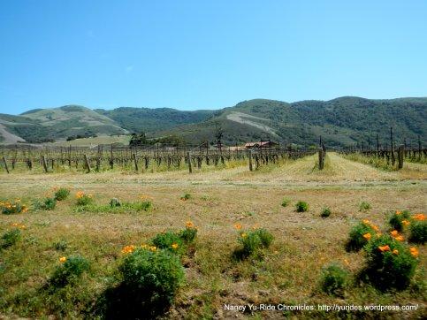 gorgeous grapevines