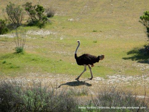 ostrich at OstrichLand