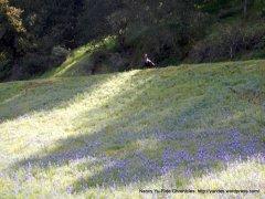 a turkey admid a field of purple lupines