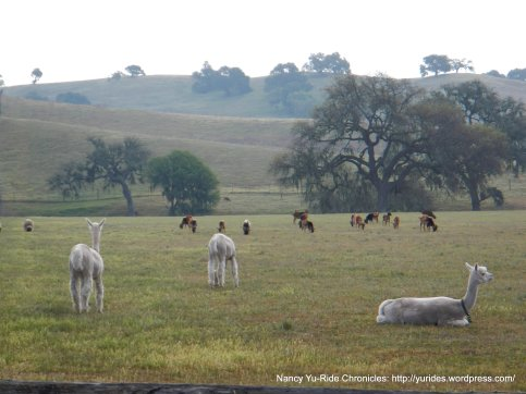 grazing alpacas & goats
