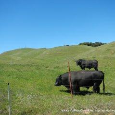 huge steers