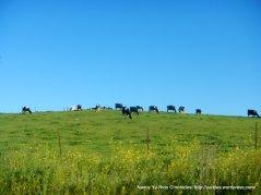 grazing holsteins