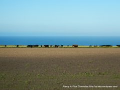 cattle enjoying the ocean views