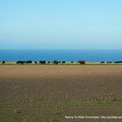 cattle enjoying the ocean views