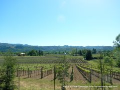 vineyards around Calistoga