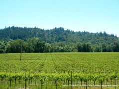 Russian River Valley vineyards