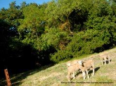 sheered sheep
