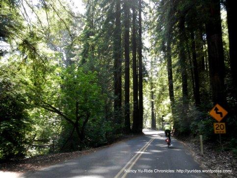 towering redwoods-lower Pinehurst Rd