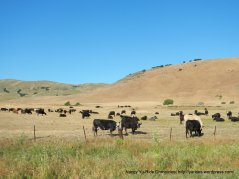 grazing cattle on Lopes