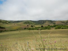 open grasslands-grazing cattle