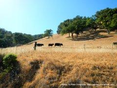 cattle walk