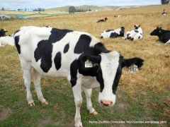 Valley Ford bovines