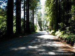 Cazadero Hwy redwoods