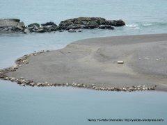 bathing harbor seals