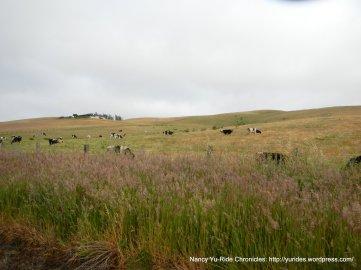 more bovines