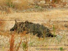dead wild pig