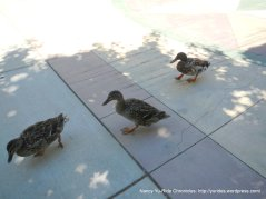 ducks at Oak Hill Park