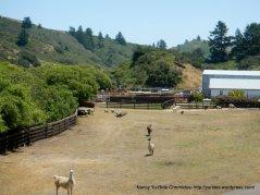 alpacas, llamas, sheep