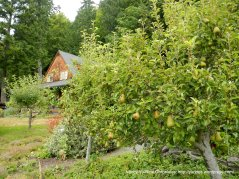 waterfront home with pear tree