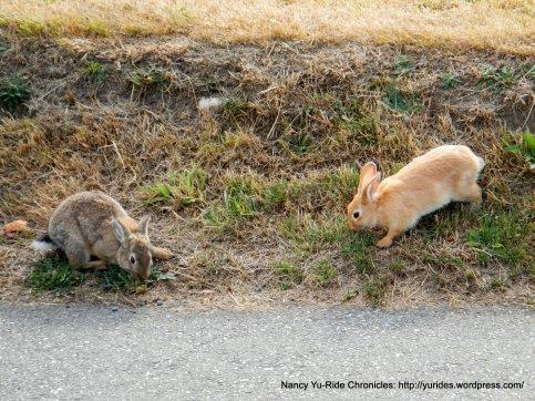 roaming bunnies