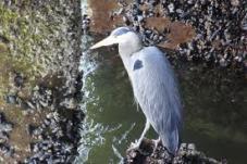 Blue Heron-Ballard Locks