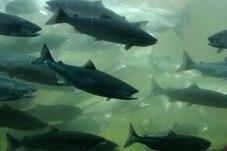 spawning salmon-fish ladder
