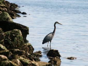 Blue Heron-Elliot Bay