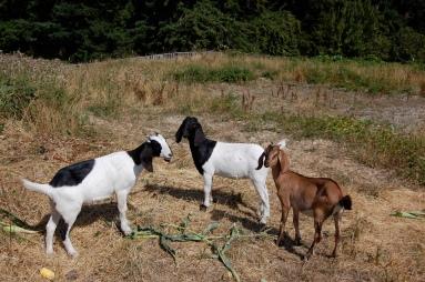 farm goats