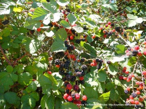 ripe blackberries