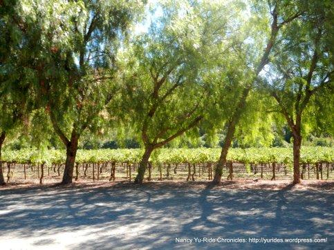 tree lined vineyards