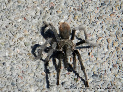 Tarantula crossing the road
