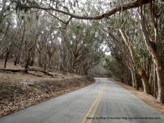 eucalyptus groves