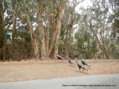 turkeys crossing