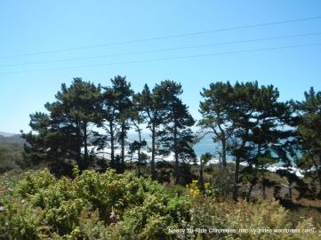 coastal pines