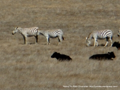 zebras and cattle