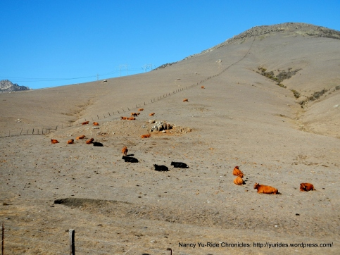 free roaming cattle