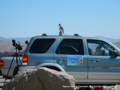 Peregrine falcon club