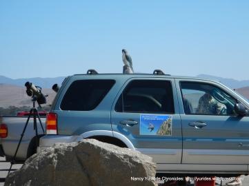 Peregrine falcon club