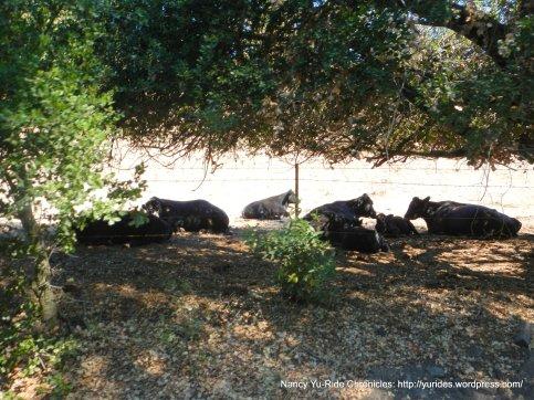 relaxing cattle