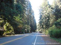 Hwy 116 W-towering redwoods