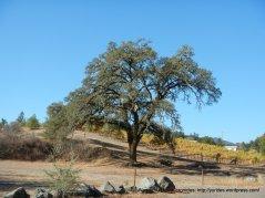 grand oak