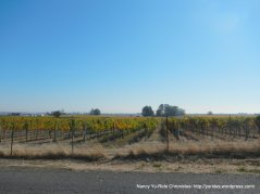 Carneros Valley vines