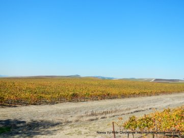 field of yellow-green vines