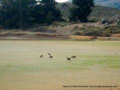 grazing deer